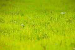 La giovane pianta dell'erba Fotografia Stock
