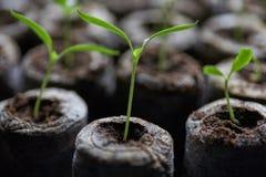 La giovane piantina fresca sta in vasi di plastica Coltivazione delle piante in serra Fotografie Stock Libere da Diritti