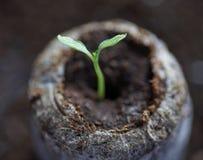 La giovane piantina fresca sta in vasi di plastica Coltivazione delle piante in serra Fotografia Stock