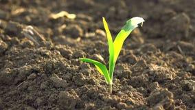 La giovane piantina verde crescente del cereale del mais germoglia nel campo agricolo coltivato dell'azienda agricola video d archivio