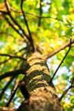 La giovane quercia alta con la corona fertile si è ramificata tronco Immagini Stock