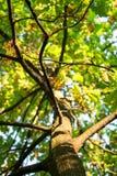 La giovane quercia alta con la corona fertile si è ramificata tronco Fotografia Stock