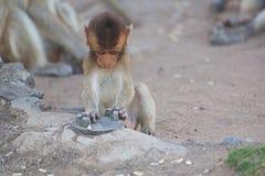 La giovane scimmia gioca con un oggetto del metallo sulla terra vicino ad un tempio a Ayutthaya Tailandia fotografia stock libera da diritti