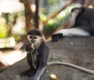 La giovane scimmia mangia mentre il riposo della mamma della scimmia Fotografia Stock Libera da Diritti