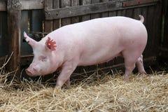 La giovane scrofa del maiale su fieno e la paglia all'allevamento del maiale coltivano Fotografie Stock Libere da Diritti