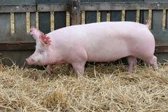 La giovane scrofa del maiale su fieno e la paglia all'allevamento del maiale coltivano Fotografie Stock