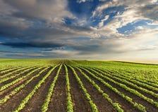 La giovane soia verde pota al giorno soleggiato idilliaco Fotografia Stock