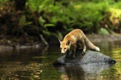 La giovane volpe rossa sulla pietra in fiume è sull'allerta - vulpes di vulpes Fotografia Stock Libera da Diritti