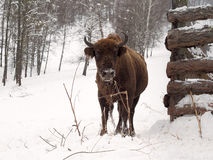 La giovenca è vicina al recinto Posto del bisonte di allevamento di Altai Immagini Stock Libere da Diritti