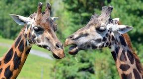 La girafe Image stock