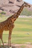 La girafe Photos stock