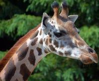 La girafe Photos libres de droits