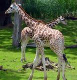 La girafe Images stock