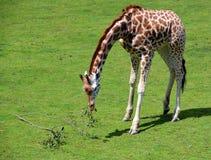 La girafe Photo libre de droits