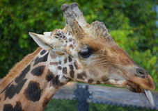 La girafe Photographie stock