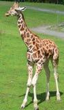 La girafe Photographie stock libre de droits