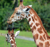 La girafe Photos stock