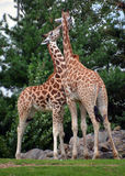 La girafe Photographie stock