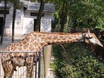 La girafe dans le zoo Image stock
