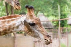 La girafe dans le zoo est tombée vers le bas pour alimenter l'humain Image stock