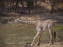 La girafe de Thornicroft Photographie stock