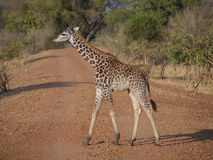 La girafe de Thornicroft Images stock