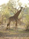 La girafe de Thornicroft Photo stock