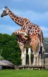 La girafe est un mammifère ongulé égal-botté avec la pointe du pied par Africain Photographie stock