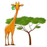 La girafe mangeant des feuilles en Afrique a isolé Photographie stock libre de droits