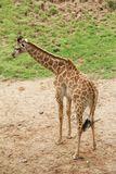 La girafe recule dans le zoo photographie stock