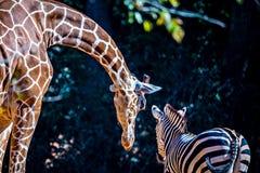 La girafe s'étire vers le bas pour indiquer salut à l'ami de zèbre Photographie stock libre de droits