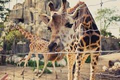 La girafe se plie vers le bas et regarde dans l'appareil-photo par une barrière Photographie stock