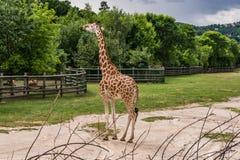 La giraffa è un bello, stupendo, animale curioso con un lungo fotografia stock