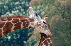 La giraffa Immagini Stock