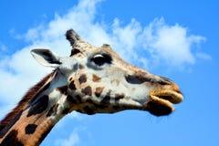 La giraffa Fotografia Stock