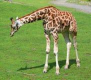 La giraffa Immagine Stock