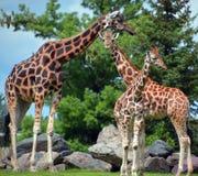 La giraffa Immagini Stock Libere da Diritti
