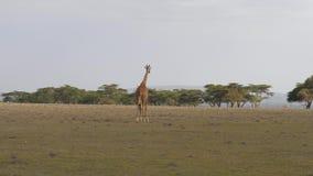 La giraffa africana entra in distanza su una savana calda agli alberi dell'acacia archivi video