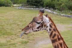 La giraffa attacca la lingua fuori allo spettatore Fotografie Stock