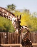 La giraffa del figlio e del padre fruga Immagini Stock
