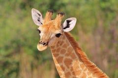 La giraffa - fondo africano della fauna selvatica - animali del bambino è sveglia immagini stock