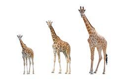 La giraffa ha isolato Immagini Stock