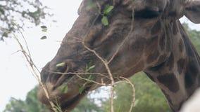La giraffa macchiata mangia le piccole foglie verdi ed i ramoscelli sottili video d archivio