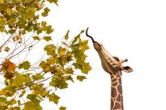 La giraffa mangia l'acero Immagine Stock Libera da Diritti