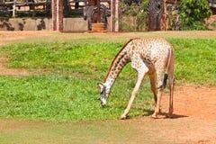 La giraffa mangia l'erba Fotografia Stock Libera da Diritti