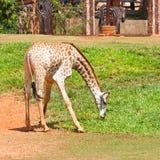 La giraffa mangia l'erba Immagini Stock