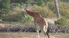 La giraffa mangia l'erba asciutta sulla terra archivi video