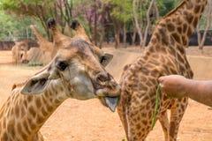 La giraffa ottiene l'alimento dalla gente Immagini Stock Libere da Diritti