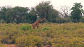 La giraffa passa attraverso i cespugli della savana africana ad un grande cespuglio pascere archivi video