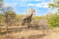 La giraffa reticolare selvaggia ed il paesaggio africano in Kruger nazionale parcheggiano in UAR Immagini Stock Libere da Diritti